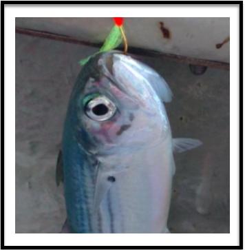 My first fish in PD, an Indian Mackerel on Sabiki